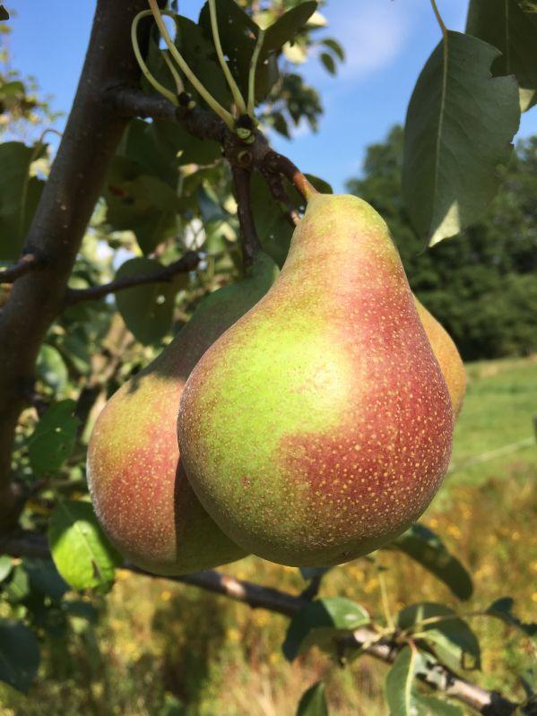 Birnbaum Windsorbirne