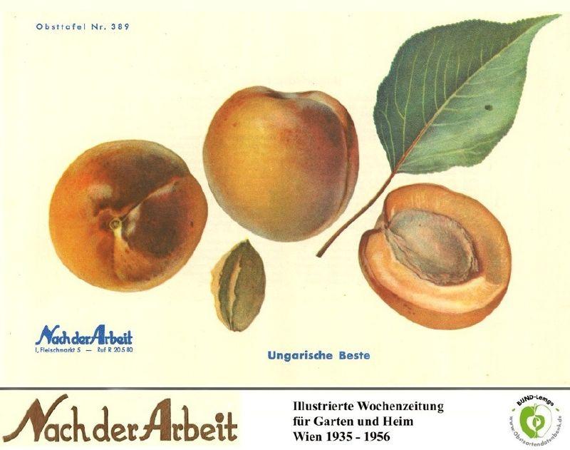 Aprikose Ungarische Beste