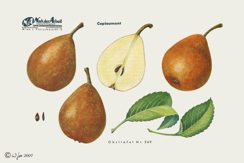 Birnbaum Capiaumonts Herbstbutterbirne