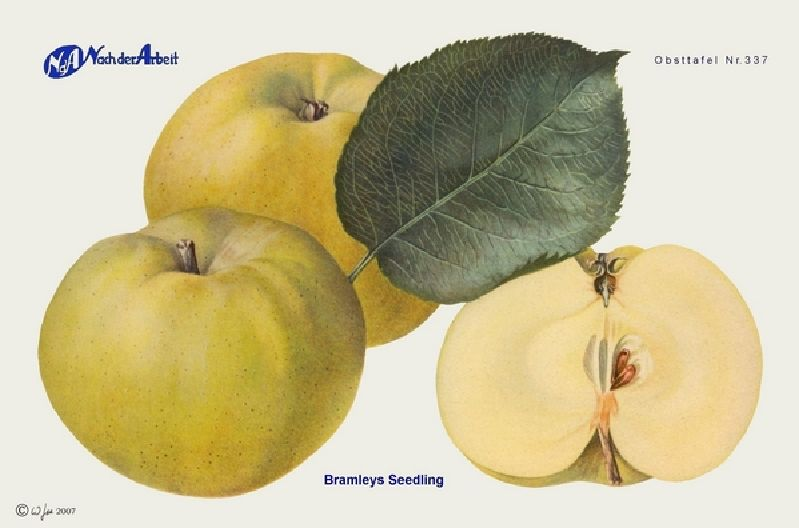 Apfelbaum Bramleys Seedling/Sämling