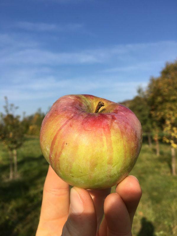 Apfelbaum Ontario