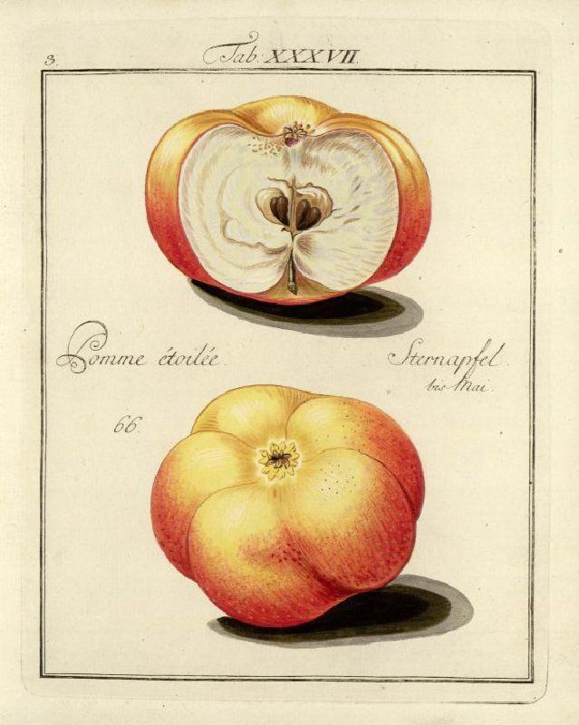 Apfelbaum Sternapi