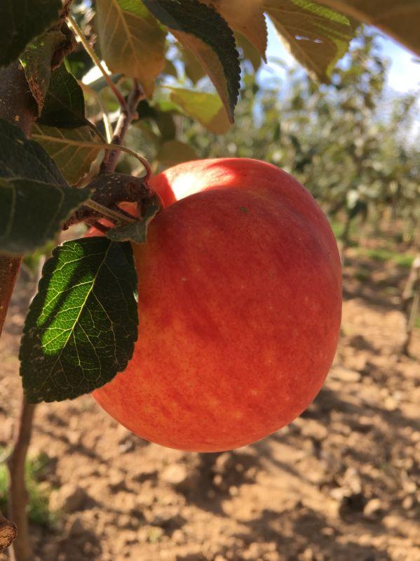 Apfelbaum James Grieve