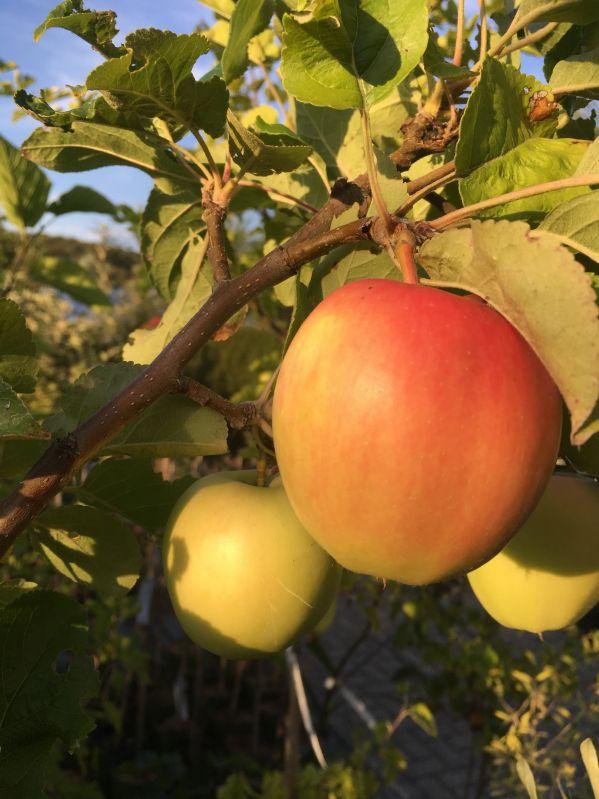Apfelbaum Saturn