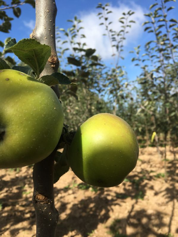Apfelbaum Hildesheimer Goldrenette