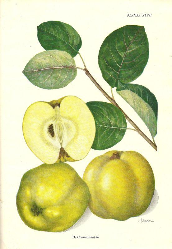 Apfelquitte Konstantinopeler
