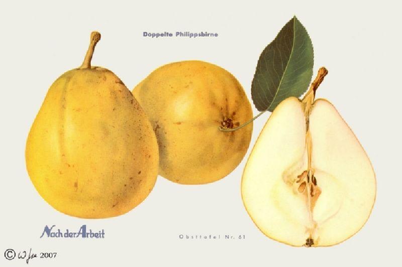 Birnbaum Doppelte Phillippsbirne