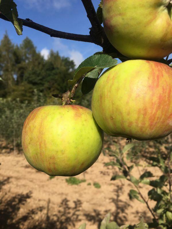 Apfelbaum Topaz