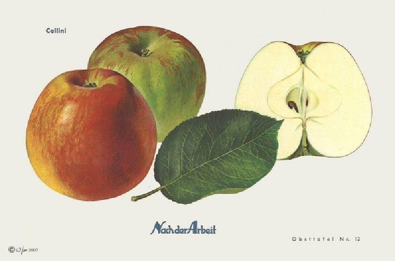 Apfelbaum Cellini