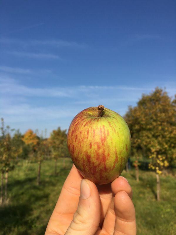 Apfelbaum Rheinischer Bohnapfel