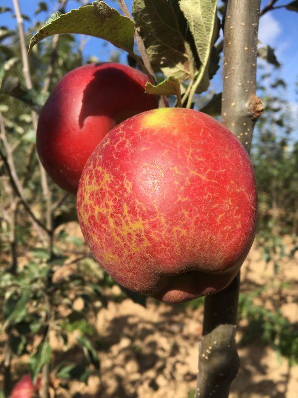 Apfelbaum Jonathan