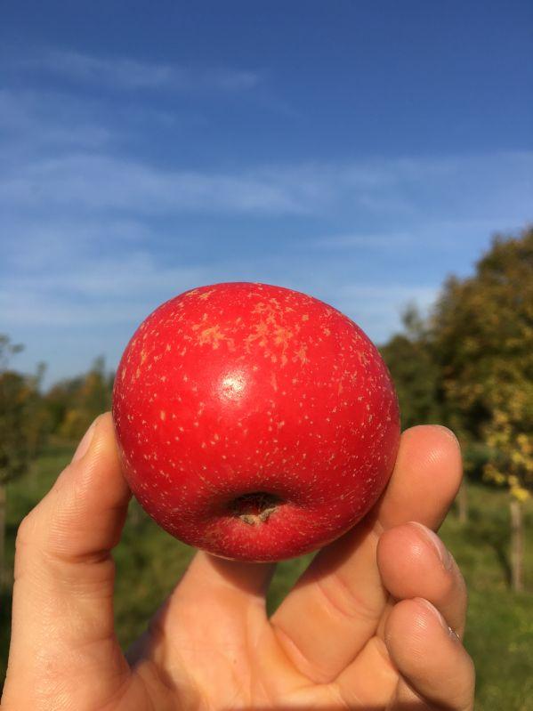 Apfelbaum Rote Sternrenette