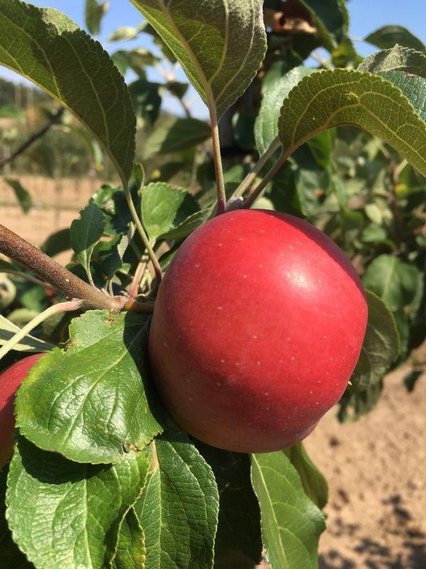 Apfelbaum Ausbacher Roter