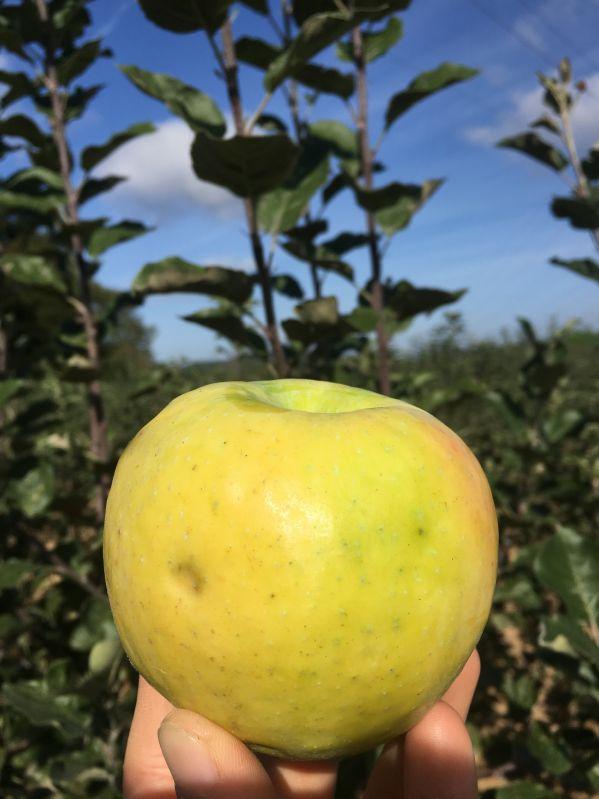 Apfelbaum Croncels