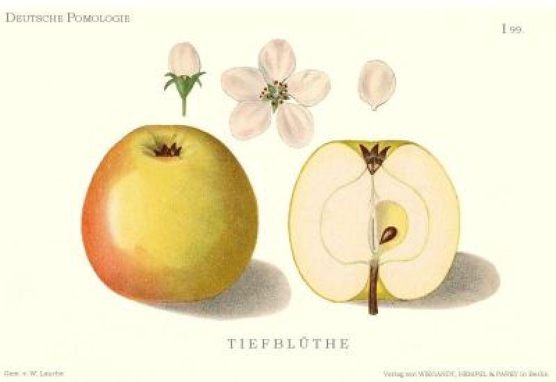 Apfelbaum Westfälische Tiefblüte