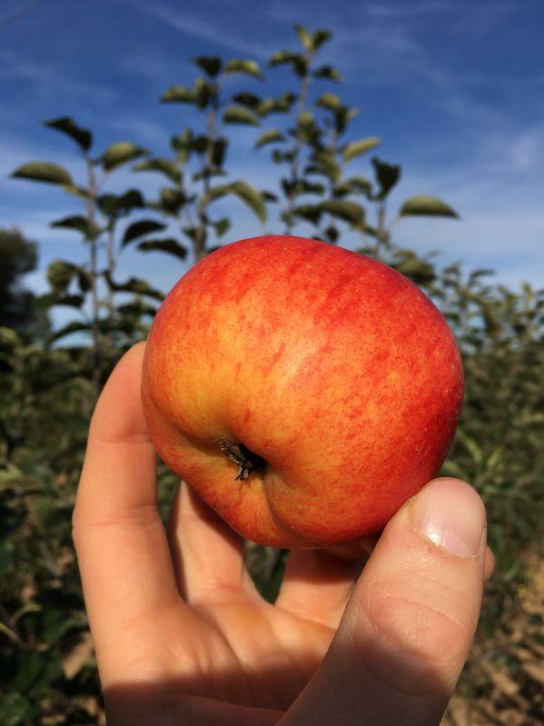 Apfelbaum Rubinola