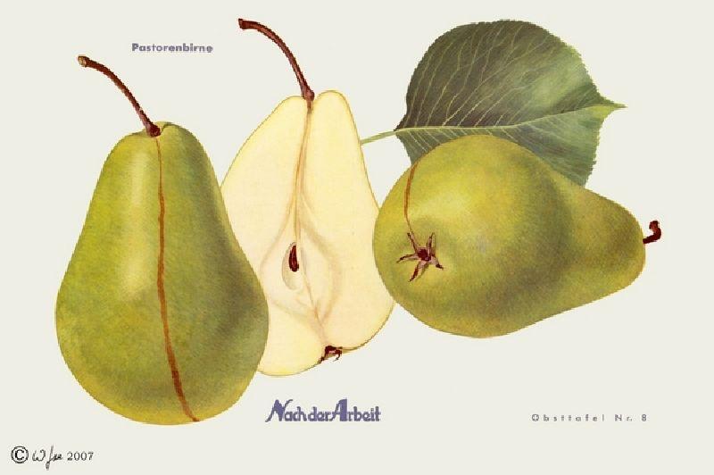 Birnbaum Pastorenbirne