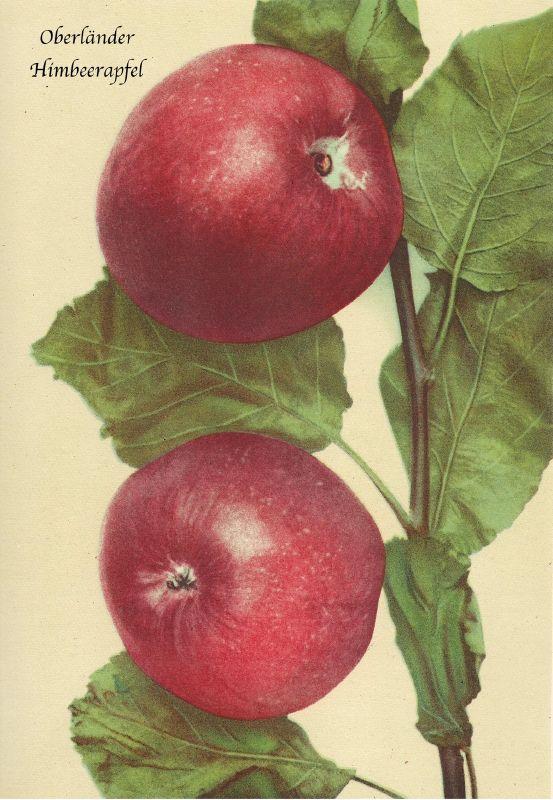 Apfelbaum Oberländer Himbeerapfel