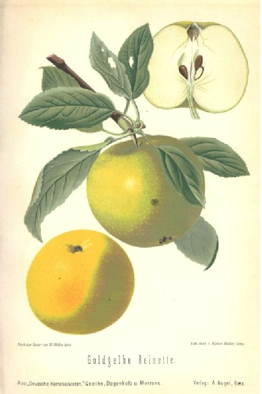 Apfelbaum Seestermüher Zitronenapfel