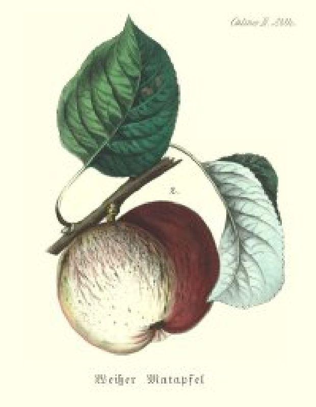 Apfelbaum Weißer Matapfel