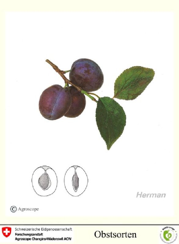 Zwetsche Herman